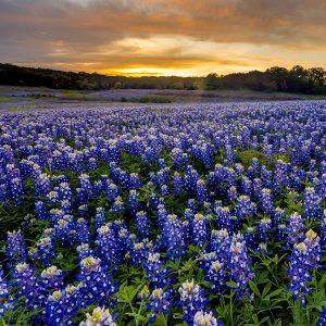 Bluebonnet Wildflowers in Bloom in Tyler Texas